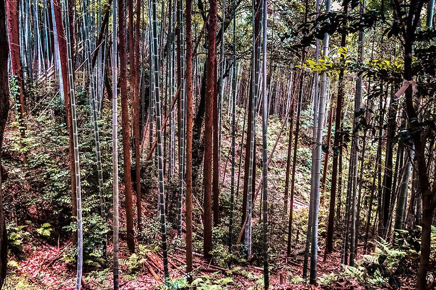 Kyoto ist von Bambuswald umgeben